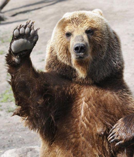 bear-waving
